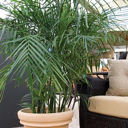 Bamboo con grnades beneficios para la salud