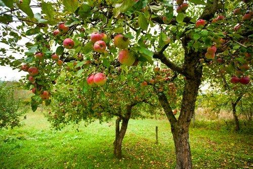ärbol de manzana