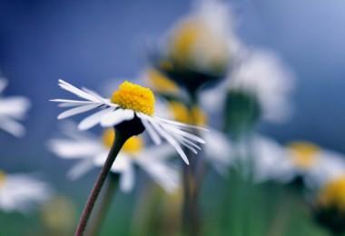Flores-de-Manzanilla_Imagenes-de-Flores-en-HD