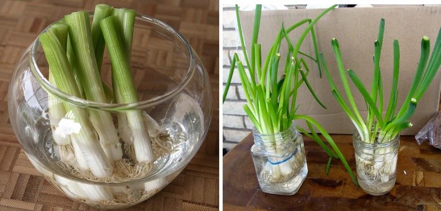 Cómo crecer cebollines en la cocina