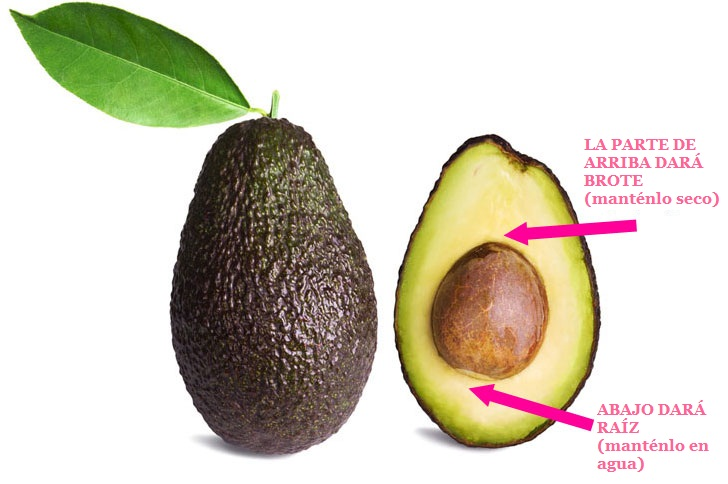 C mo hacer crecer el aguacate desde la semilla for How do you grow an avocado seed