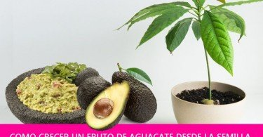How-To-Grow-Avocado-From-Seed