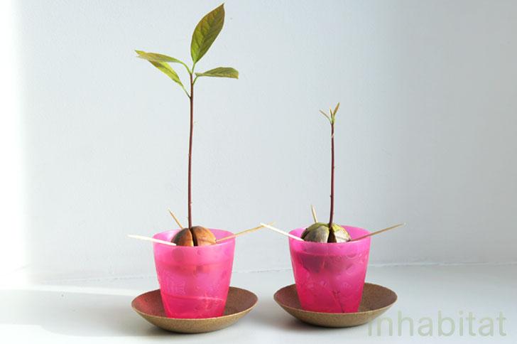 cómo hacer crecer el aguacate desde la semilla