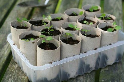 semilleros hechos con rollos de papel higiénico reciclado