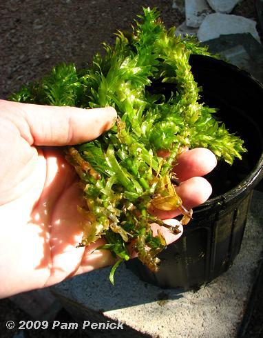 estanque acuático selección de plantas
