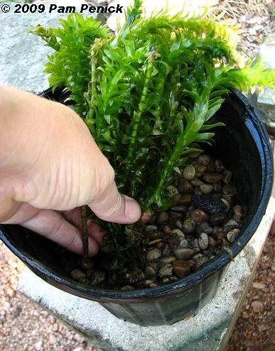 estanque acuático selección de las plantas