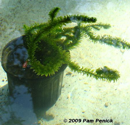 estanque acuático selección de plantas acuáticas