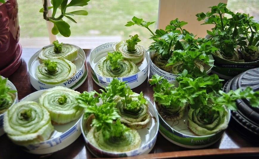 como hacer crecer apio
