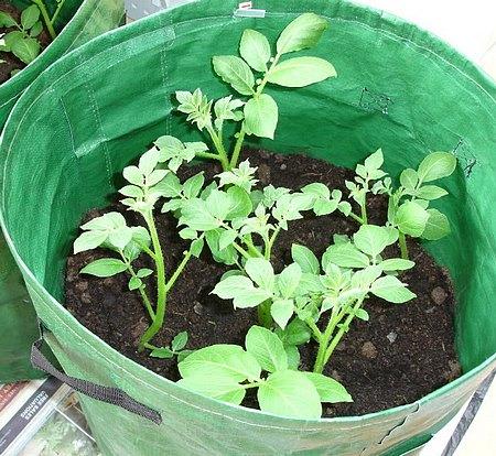 papas en un barril plantas