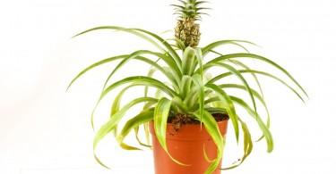 planta de piña