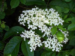 Fungicida y pesticida con saúco
