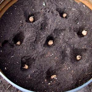 crecer papas en un barril