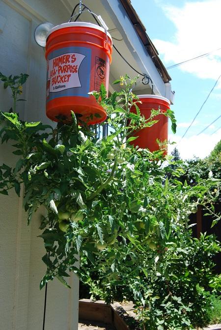 cómo crecer tomates