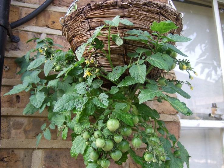 crecer tomates en casa