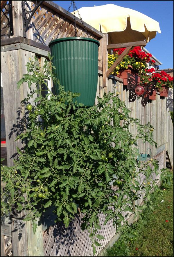 crecer tomates en un bote al reves y colgando