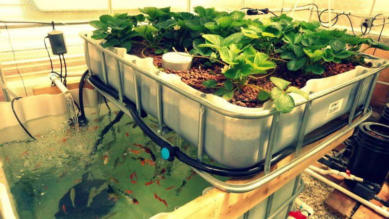 Creando un sistema de orgánico de acuaponia en casa