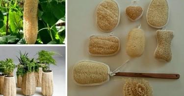 Creciendo-y-procesando-LufasEsponja-Vegetal.