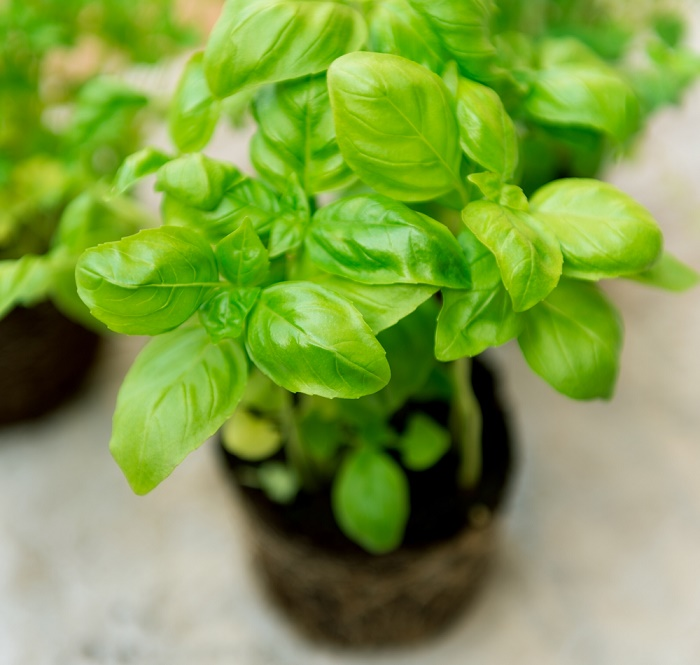 15 beneficios de la albahaca propiedades medicinales y for Como se planta la lavanda