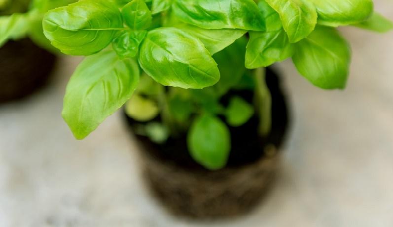 albahaca ayuda a reducir la inflamación de manera efectiva