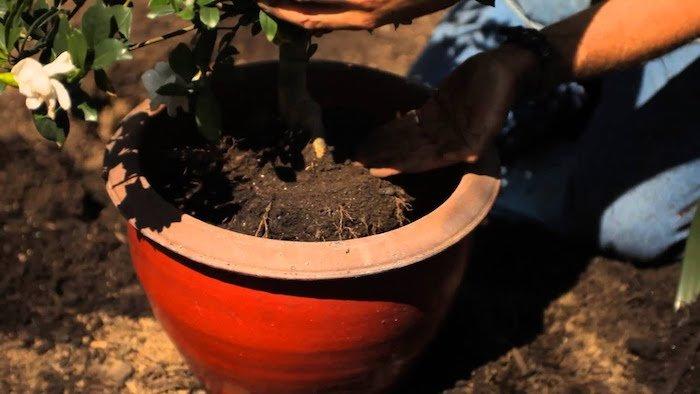 gardenias trasplantando