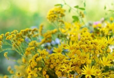Flores de tanaceto