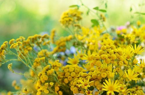 repelentes de moscas Flores de tanaceto