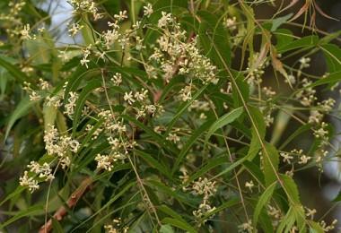 Neem_-Azadirachta_indica-_in_Hyderabad_W_IMG_6976