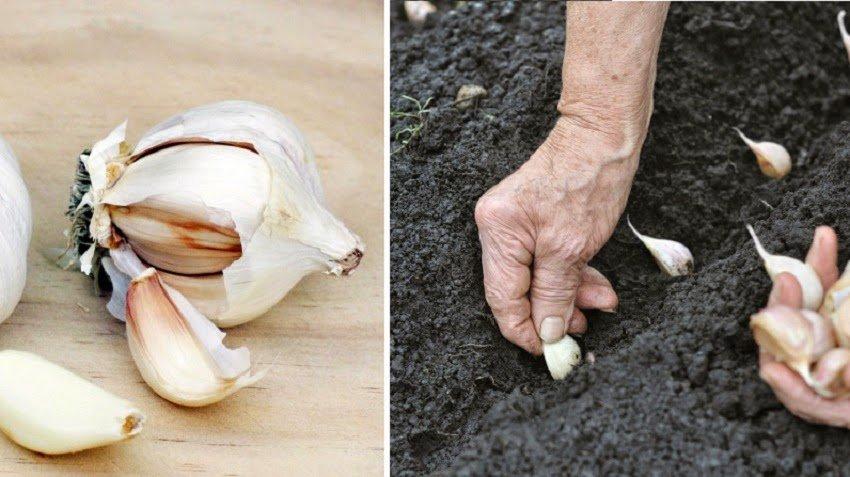 Una persona mayor plantando ajo