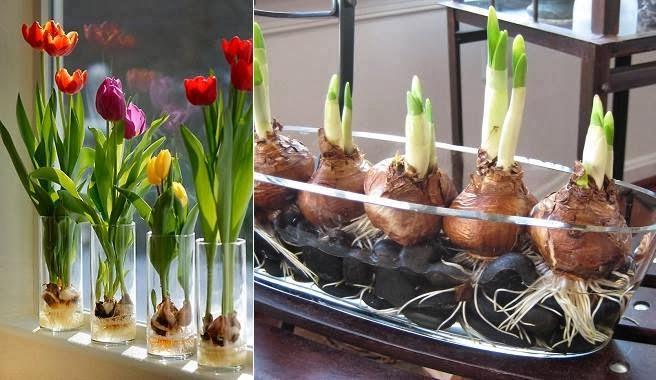 Cómo hacer crecer tulipanes en tu hogar