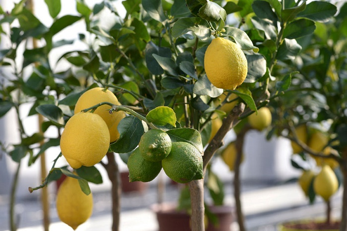 Crecer un árbol de limón