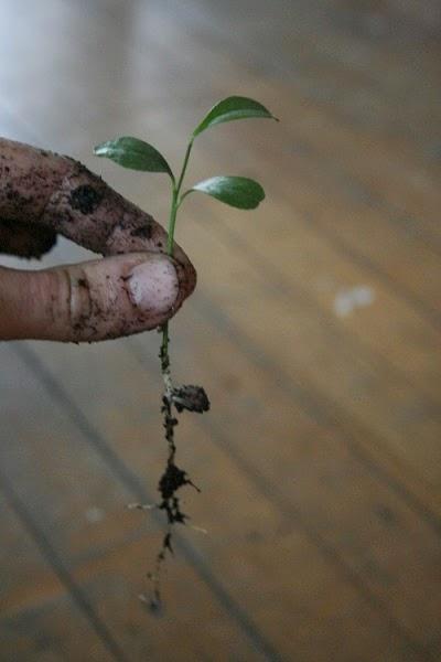 Crecer un árbol de limón planta
