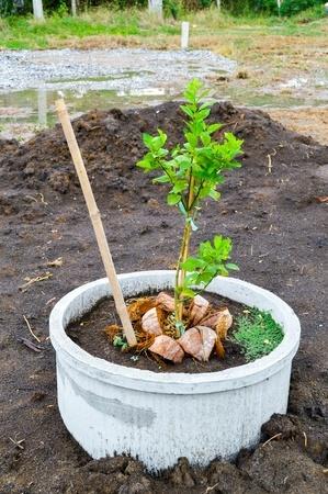 Crecer una planta de limón en maceta
