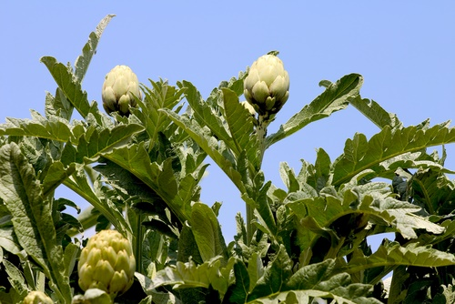 alcachofa vegetales perennes