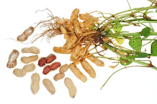 cacahuate vegetales perennes