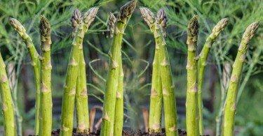 crecer esparragos