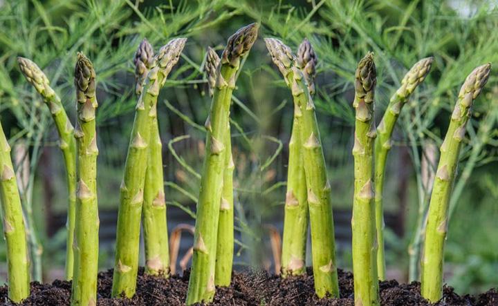 Guía para crecer Espárragos - Vida Lúcida