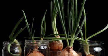 creciendo vegetales cebolla