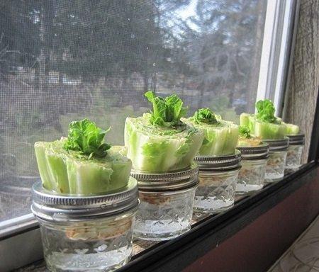 creciendo vegetales lechuga romana