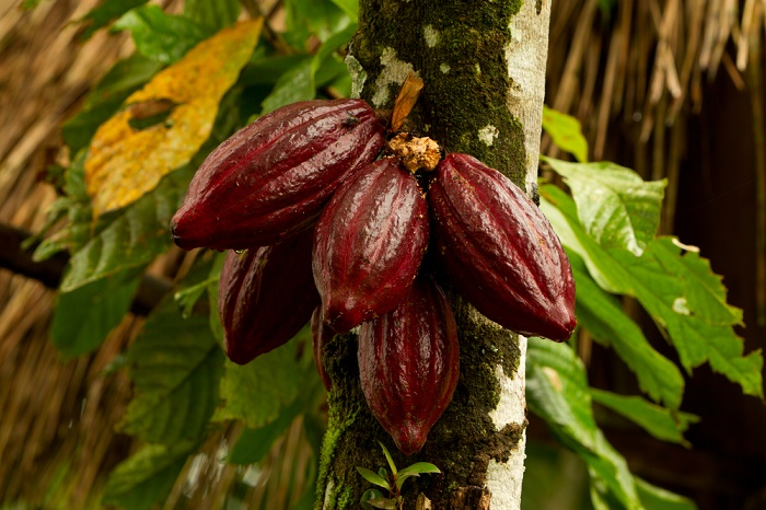 Árbol de cacao