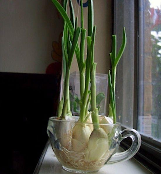 ajo germinado cultivo