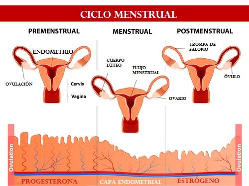 ciclo menstrual grafico