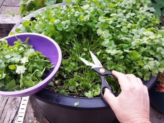 plantando cilantro