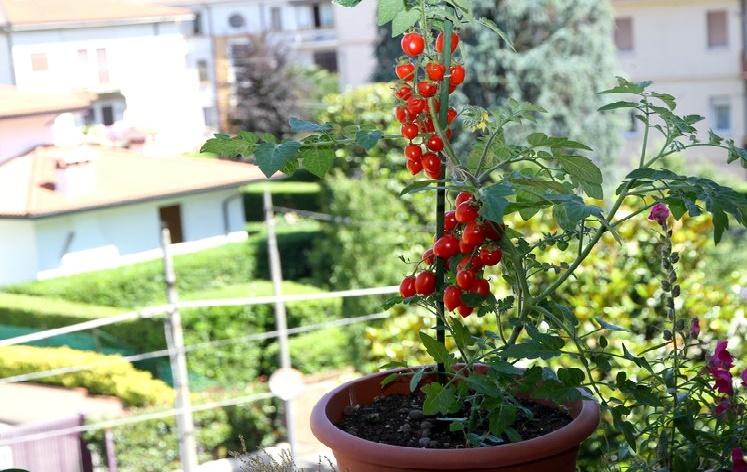 Maceta con tomates