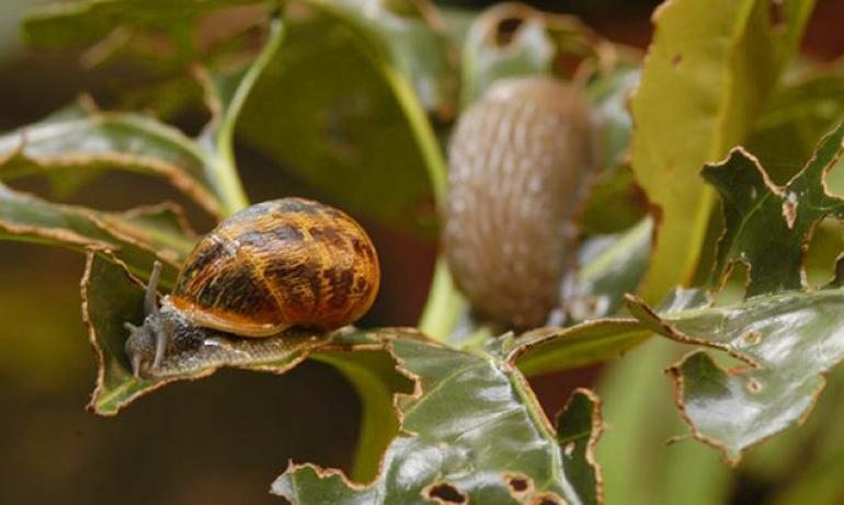 Eliminar babosas y caracoles del jard n for Caracol de jardin