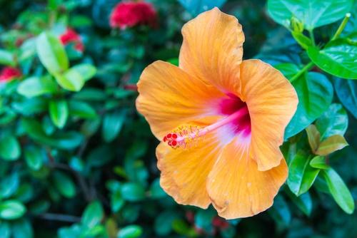 hibisco flor tropical