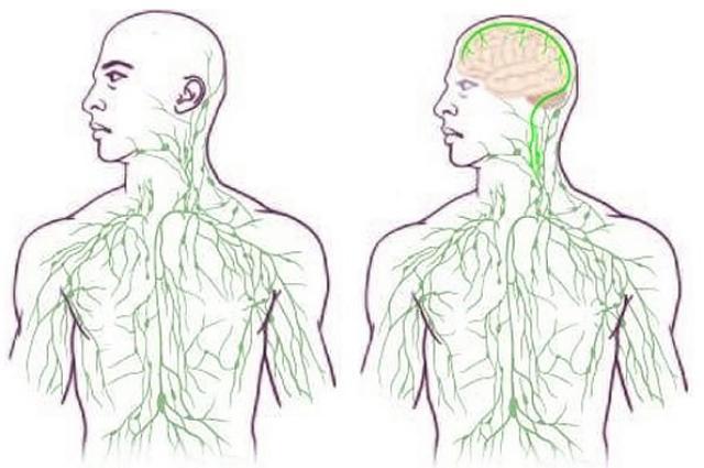 relación cerebro sistema inmunológico