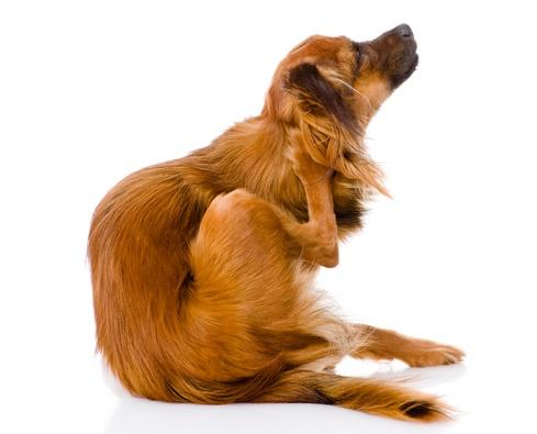 perro rascándose pulgas
