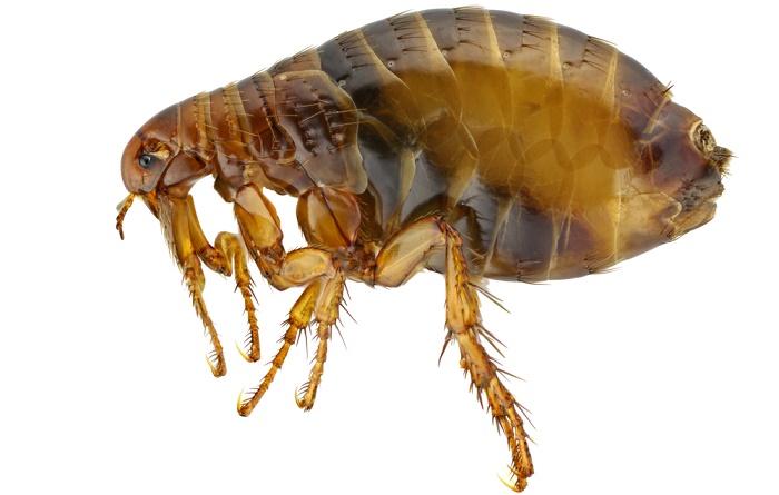 Remedios caseros para combatir las pulgas - Como eliminar las pulgas de casa remedio casero ...