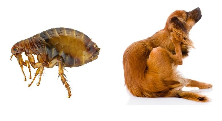 Remedios caseros para combatir las pulgas - Exterminar pulgas en casa ...