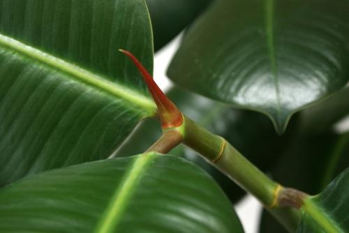 Ficus elastica - Ficus elastica cuidados ...